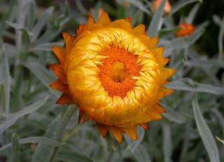 DSCN1601 golden everlasting daisy (?Xerochrysum sp.), National Botanic Gardens, Canberra