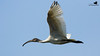 Black-headed Ibis-3466 by Rudy_Whistlingtrails