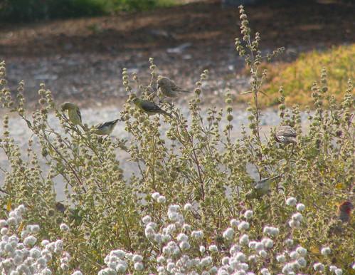 Finches on Salvia mellifera