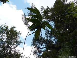 Dypsis lutea   by olivier.reilhes