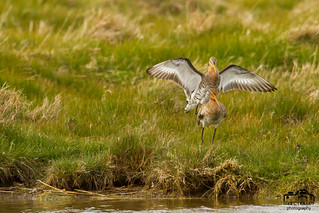 Limosa limosa - Black-tailed Godwit | by Marc Nollet