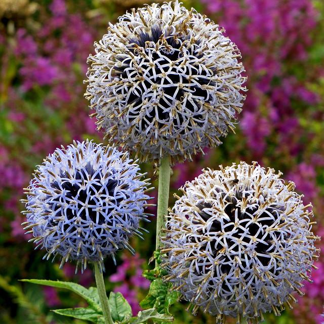 RHS Hyde Hall - A Trio of Allium