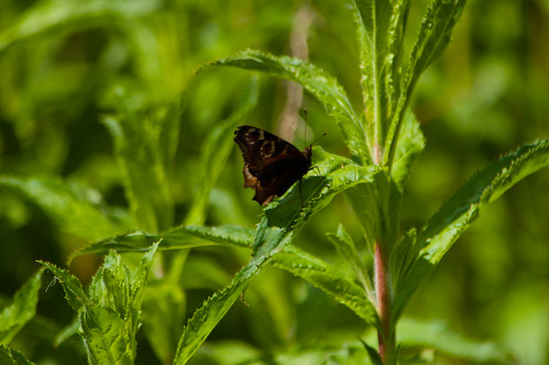 Peacock butterfly from below