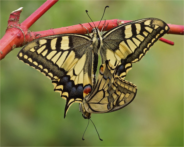Old World Swallowtails in love