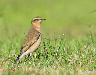 Oenanthe oenanthe-Chasco-cinzento  (Northern wheatear) | by RogerioPCRodrigues