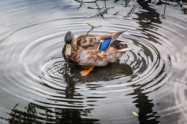 Mallord Duck