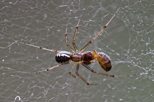 Araignée vs Fourmi 1-0 Spider vs Ant 1-0