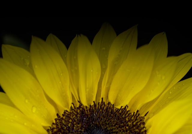 sunflower half