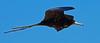 Magnificent Frigatebird (Fregata magnificens) male. Gulf of Mexico coast, Sisal, Yucatan, Mexico. by cbrozek21