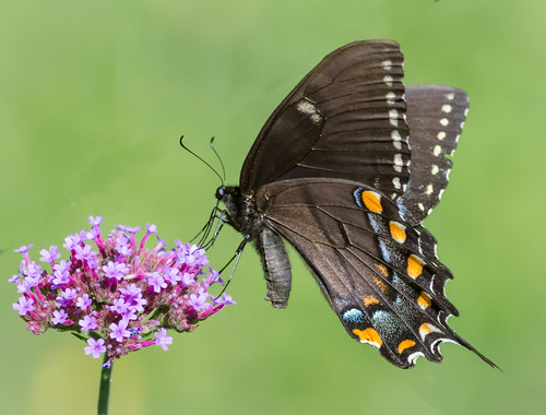 us pennsylvania ngc butterflies content insects places folder swallowtail takenby chestercounty 2014 springtonmanor peterscamera petersphotos platinumheartaward canon7d spicebushawallowtail 20140829chestercountymisc