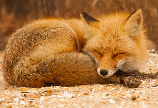 Sleeping Fox | by Anthony Quintano