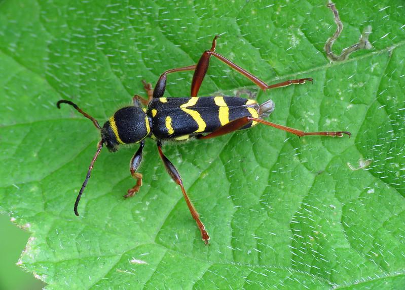 Wasp Beetle - Clytus arietis