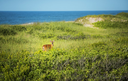 Deer in the Dunes | by Alida's Photos