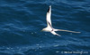 White-tailed Tropicbird by Michael Woodruff