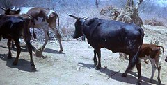 Tue, 01/20/2015 - 04:14 - Species name: Cattle (photo credit: ILRI).