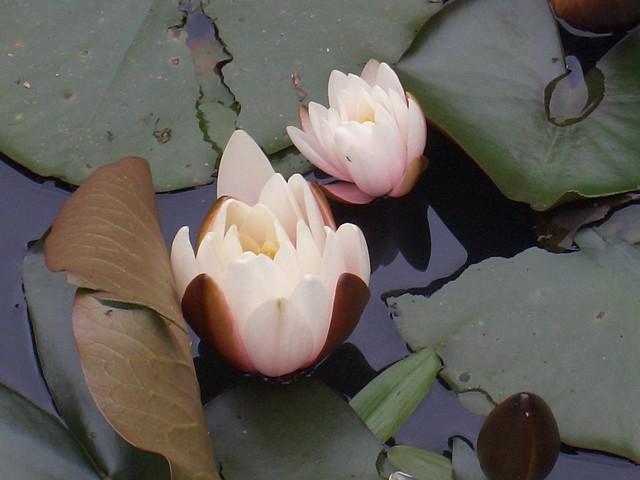 Water Lillies. Shibden Park, Halifax.