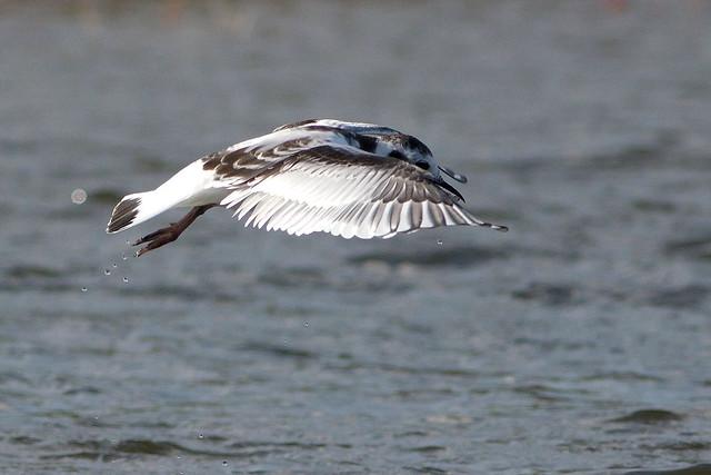 IMG_8984 Little Gull - Larus minutus - Dværgmåge