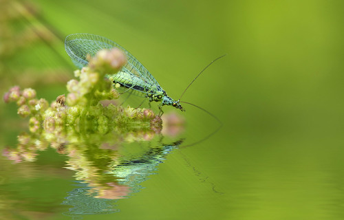 Green Lacewing reflection.