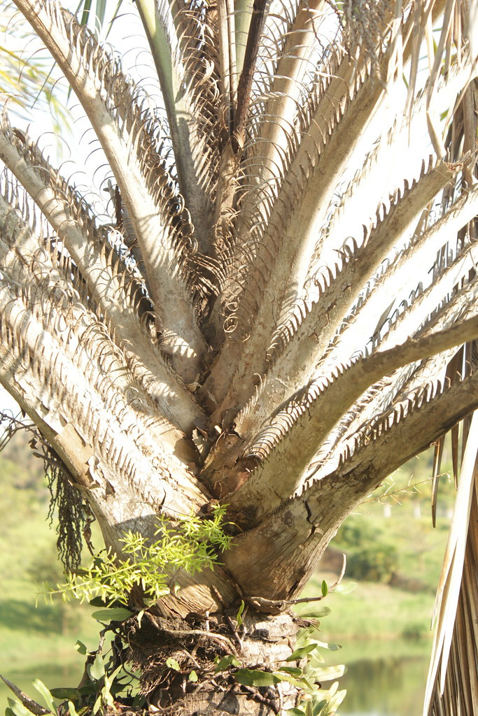 Syagrus coronata (Mart.) Becc.-005