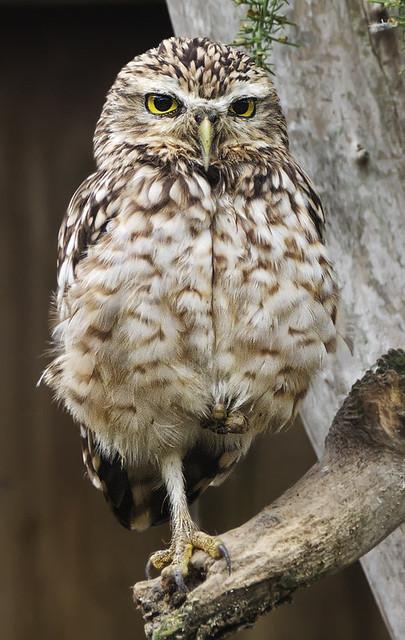 Owl Hop