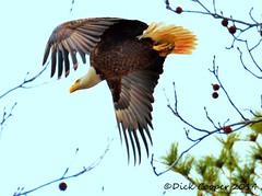 Eagle, © Dick Cooper