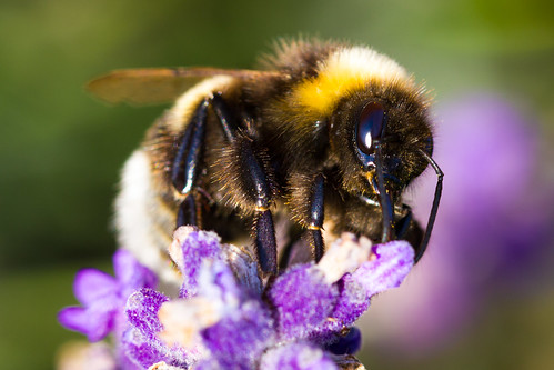 Bumblebee | by miphages