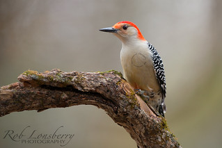 Red-Bellied Woodpecker | by Rob Lonsberry Photography