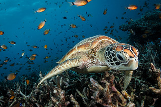 Green Turtle coming | by Luko GR
