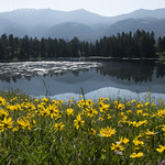 Rocky Mountain Helianthella at Trout Lake