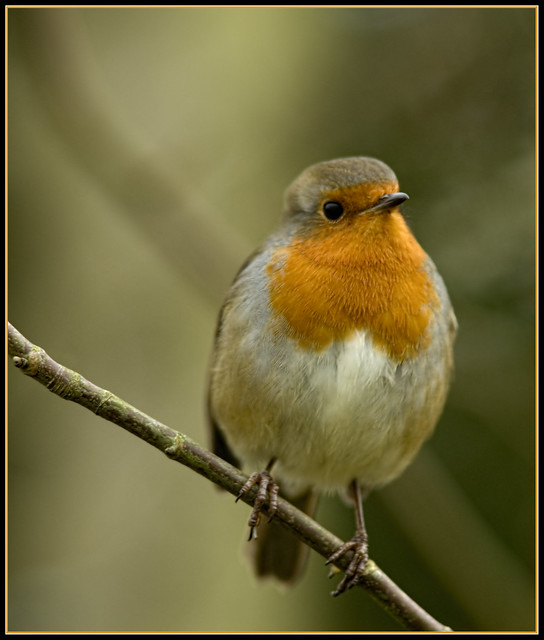 Robin of Arley
