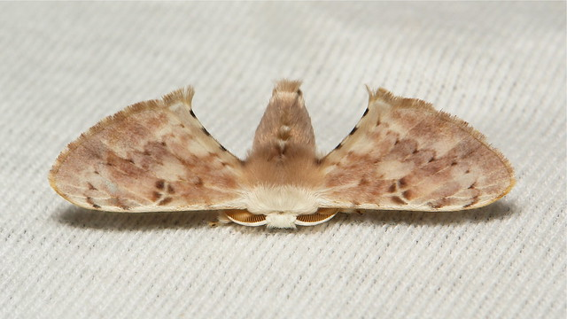 Bombycid Silk Moth (Penicillifera cf. tamsi, Bombycidae), male
