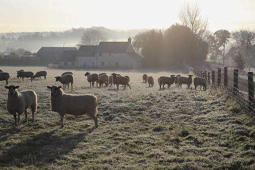 morning autumn mist cold field frost sheep explore