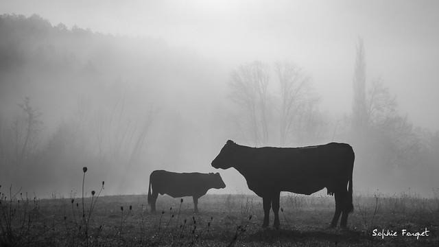 Vaches dans la brume 1