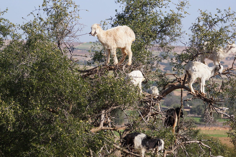 Staged Goats in Trees
