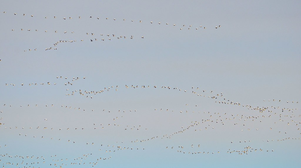 Eastward Bound - Greater Snow Geese