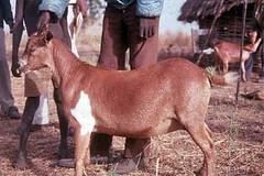 Ter, 20/01/2015 - 05:07 - Species name: Goat (photo credit: ILRI).