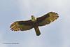 Rufous-bellied Eagle, adult, Lophotriorchis kienerii formosus, by Graham Ekins
