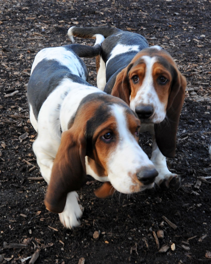 buford and cletus | Two 7 month old basset hound puppies ...