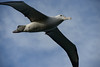 Southern royal albatross (Diomedea epomophora) by Duncan Wallace