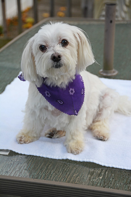 Picture Of Lucky The Maltese Dog Taken After Grooming. Photo Taken Sunday November 9, 2014