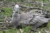 Cape Barren Goose (AU94) by naturelover2007