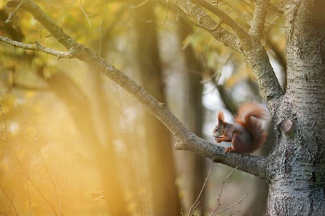 Eichhörnchen - Sciurus vulgaris - squirrel