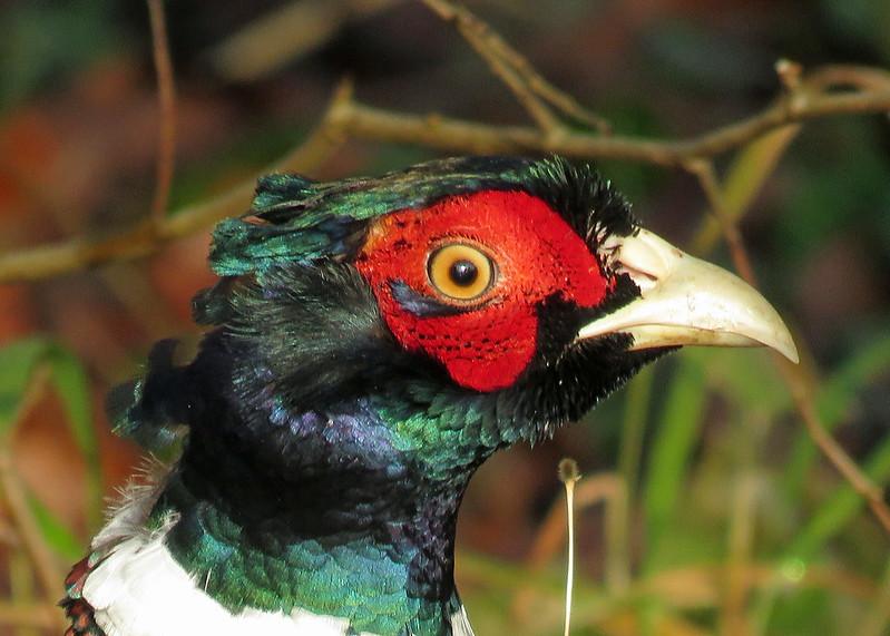 Pheasant - Phasianus colchicus