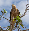 Whistling Kite (Haliastur sphenurus) (king of the sky when the white bellied sea eagle is not about) by Geoff Whalan