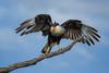 Crested caracara (Caracara cheriway), South Texas by diana_robinson