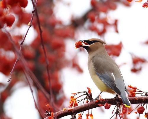 bird cedarwaxwing floweringcrabapple yakimaareaarboretum
