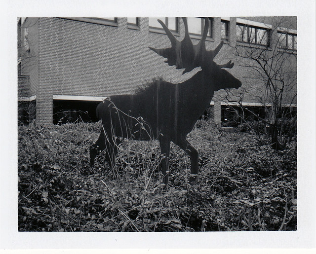 Hungry Moose/ Hungriger Elch