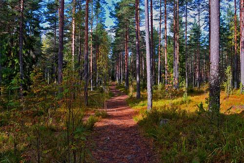 forest metsä metsämaisema metsäkuva nikon wood sun polku suomi finland mäntymetsä maisema luonto landscape nature trail pine trees puut taivas sky scape views d3200 nikond3200 europe