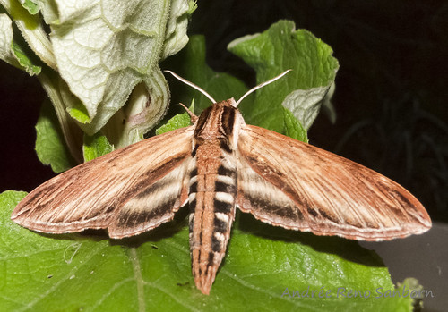 Laurel Sphinx moth - Hodges#7809 (Sphinx kalmiae)
