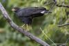 Buteogallus anthracinus / Common Black Hawk / Gavilán Cangrejero by Gmo_CR
